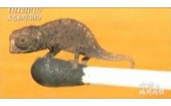 世界初、世界最小カメレオンの動画放送