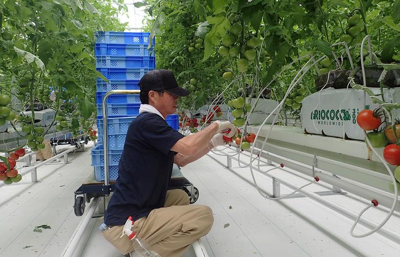 3月、赤く熟したトマトを初めて収穫。年間の出荷量は、震災前の同市生産量の半分に相当する660㌧を目指している。