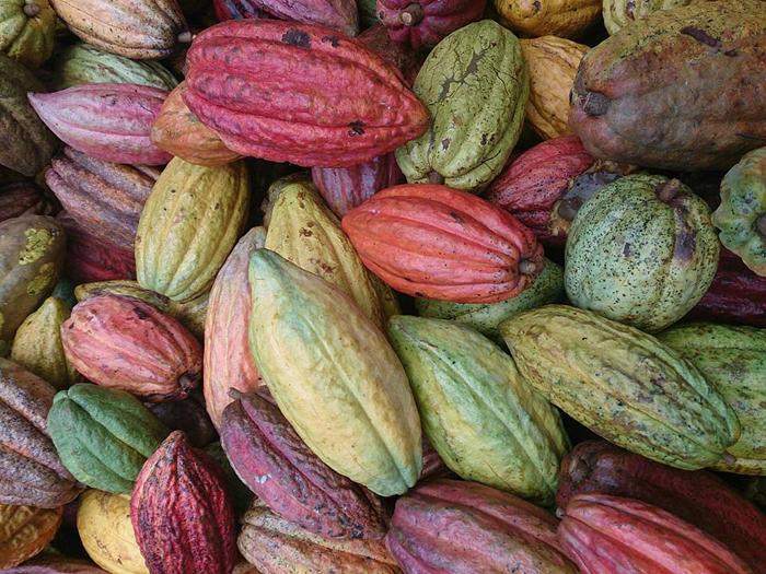 カカオホッド。カカオは品種や産地によって特徴を持った南国のフルーツ