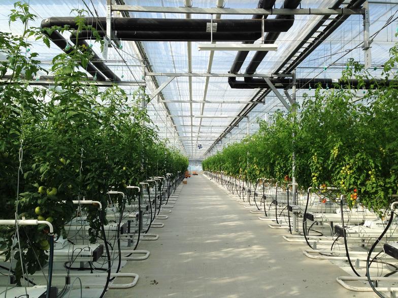 植物工場でのトマト栽培の様子